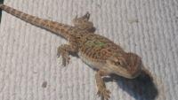 Bearded Dragon Reptiles for sale in Lakeland, FL, USA. price: NA
