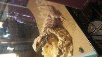 Bearded Dragon Reptiles for sale in Chillicothe, OH 45601, USA. price: NA
