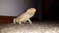 Bearded Dragon Reptiles for sale in Maysville, KY 41056, USA. price: NA