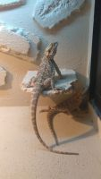 Bearded Dragon Reptiles for sale in Sarasota, FL, USA. price: NA