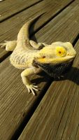 Bearded Dragon Reptiles for sale in Wallingford, CT 06492, USA. price: NA