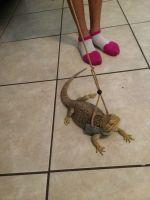 Bearded Dragon Reptiles for sale in Seffner, FL 33584, USA. price: NA