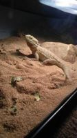 Bearded Dragon Reptiles for sale in Dayton, OH 45424, USA. price: NA