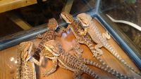 Bearded Dragon Reptiles for sale in Hurley, MO, USA. price: NA