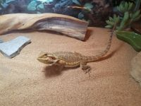 Bearded Dragon Reptiles for sale in Barberton, OH 44203, USA. price: NA