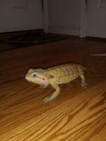 Bearded Dragon Reptiles for sale in Fredericksburg, VA 22401, USA. price: NA