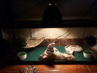 Bearded Dragon Reptiles for sale in San Fernando, CA, USA. price: NA