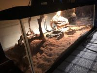 Bearded Dragon Reptiles for sale in Greenwich, CT, USA. price: NA