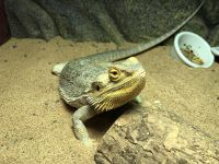 Bearded Dragon Reptiles for sale in Clarksville, TN, USA. price: NA