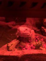 Bearded Dragon Reptiles for sale in Jacksonville, FL, USA. price: NA