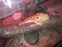 Bearded Dragon Reptiles for sale in Baton Rouge, LA, USA. price: NA