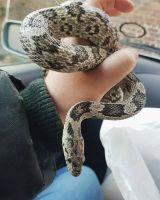 Bearded Dragon Reptiles for sale in Fresno, CA 93720, USA. price: NA