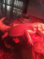 Bearded Dragon Reptiles for sale in Braintree, MA, USA. price: NA