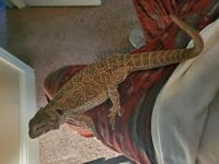 Bearded Dragon Reptiles for sale in Bloomington, IL 61701, USA. price: NA