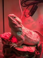 Bearded Dragon Reptiles for sale in Springfield, IL, USA. price: NA