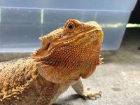 Bearded Dragon Reptiles for sale in N Gessner Rd, Houston, TX 77064, USA. price: NA
