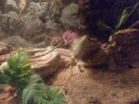 Bearded Dragon Reptiles for sale in 2009 Dixie Hwy, Louisville, KY 40210, USA. price: NA