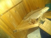 Bearded Dragon Reptiles for sale in Clermont, FL 34711, USA. price: NA