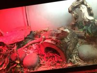 Bearded Dragon Reptiles for sale in 220 E Live Oak St, San Gabriel, CA 91776, USA. price: NA