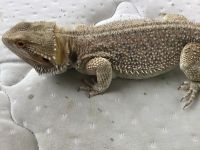 Bearded Dragon Reptiles for sale in Jaffrey, NH 03452, USA. price: NA