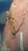 Bearded Dragon Reptiles for sale in Georgetown, MA, USA. price: NA