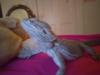 Bearded Dragon Reptiles for sale in Beloit, WI 53511, USA. price: NA
