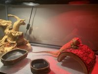Bearded Dragon Reptiles for sale in Pleasant View, TN, USA. price: NA