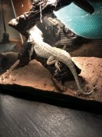 Bearded Dragon Reptiles for sale in Havelock, NC, USA. price: NA