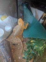 Bearded Dragon Reptiles for sale in Diamond Bar, CA, USA. price: NA