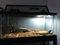 Bearded Dragon Reptiles for sale in Painesville, OH 44077, USA. price: NA