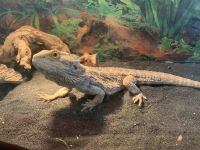 Bearded Dragon Reptiles for sale in Guadalupe, CA, USA. price: NA