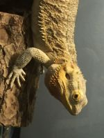 Bearded Dragon Reptiles for sale in St. Louis, MO, USA. price: NA