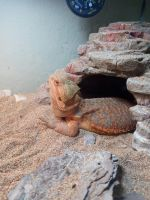 Bearded Dragon Reptiles for sale in Bethel Island, CA, USA. price: NA