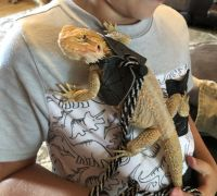 Bearded Dragon Reptiles for sale in Gallatin, TN 37066, USA. price: NA
