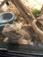 Bearded Dragon Reptiles Photos