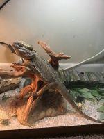 Bearded Dragon Reptiles for sale in Belgrade, MT 59714, USA. price: NA