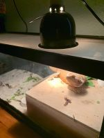 Bearded Dragon Reptiles for sale in Salinas, CA, USA. price: NA
