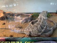 Bearded Dragon Reptiles for sale in Alpharetta, GA, USA. price: NA