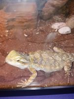 Bearded Dragon Reptiles for sale in Troy, NY 12180, USA. price: NA
