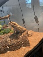 Bearded Dragon Reptiles for sale in Frisco, CO, USA. price: NA