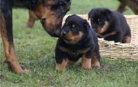 Beauceron Puppies Photos