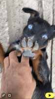 Beauceron Puppies for sale in 5850 W Gulf Bank Rd, Houston, TX 77088, USA. price: NA
