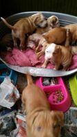 Bedlington Terrier Puppies for sale in Honolulu, HI, USA. price: NA
