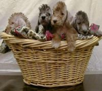 Bedlington Terrier Puppies for sale in Dallas, TX, USA. price: NA