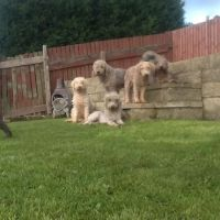 Bedlington Terrier Puppies for sale in East Los Angeles, CA, USA. price: NA