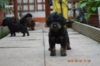 Bedlington Terrier Puppies for sale in United States Postal Service, 100 PR-3, San Juan, 00924, Puerto Rico. price: NA
