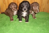 Bedlington Terrier Puppies for sale in New York, NY, USA. price: NA