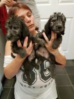 Bedlington Terrier Puppies for sale in Indianapolis, IN, USA. price: NA