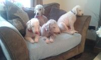 Bedlington Terrier Puppies for sale in Missiouri CC, Elsberry, MO 63343, USA. price: NA
