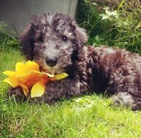 Bedlington Terrier Puppies for sale in Houston, TX, USA. price: NA